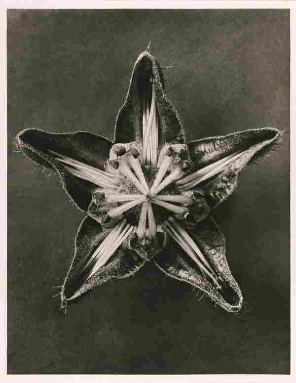 1180: KARL BLOSSFELDT (German) Vinteage photogravure