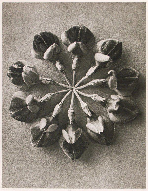 1182: KARL BLOSSFELDT (German) Vintage photogravure