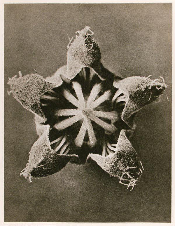 1183: KARL BLOSSFELDT (German) Vintage photogravure