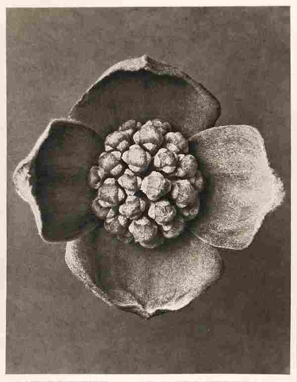 1200: KARL BLOSSFELDT (German) Vintage photogravure