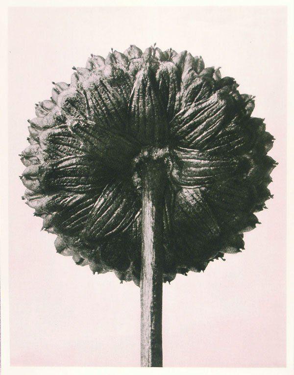 1203: KARL BLOSSFELDT (German) Vintage photogravure