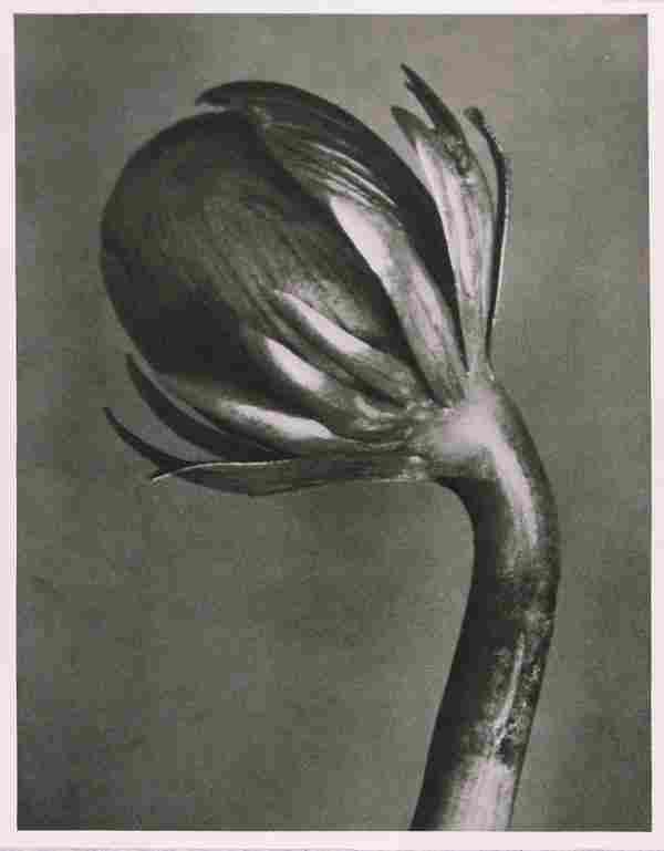 1216: KARL BLOSSFELDT (German) Vintage photogravure