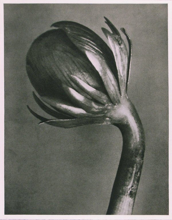 1216: KARL BLOSSFELDT (German) Vintage photogravure