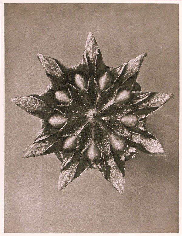 1248: KARL BLOSSFELDT (German) Vintage photogravure