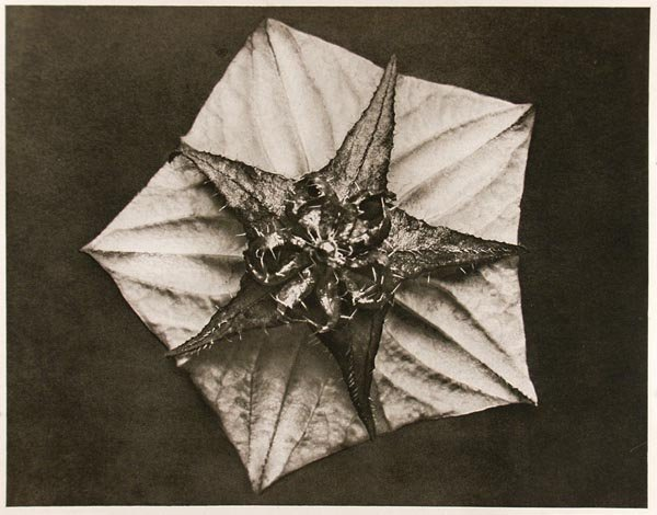 1249: KARL BLOSSFELDT (German) Vintage photogravure