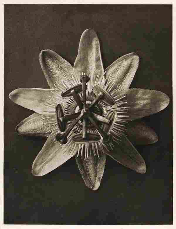 1252: KARL BLOSSFELDT (German) Vintage photogravure