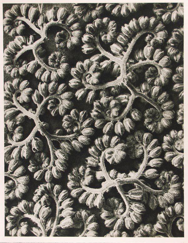 1254: KARL BLOSSFELDT (German) Vintage photogravure