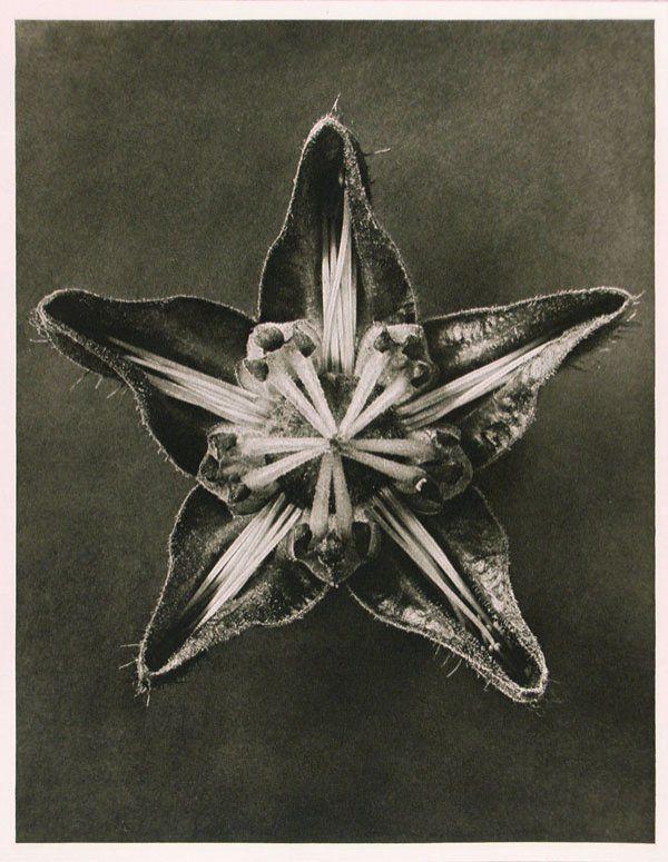 KARL BLOSSFELDT (German) Vinteage photogravure