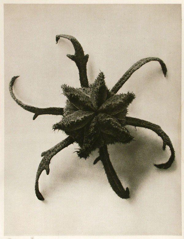 KARL BLOSSFELDT (German) Vintage photogravure