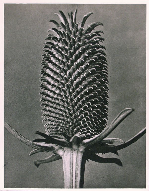 1185: KARL BLOSSFELDT (German) Vintage photogravure