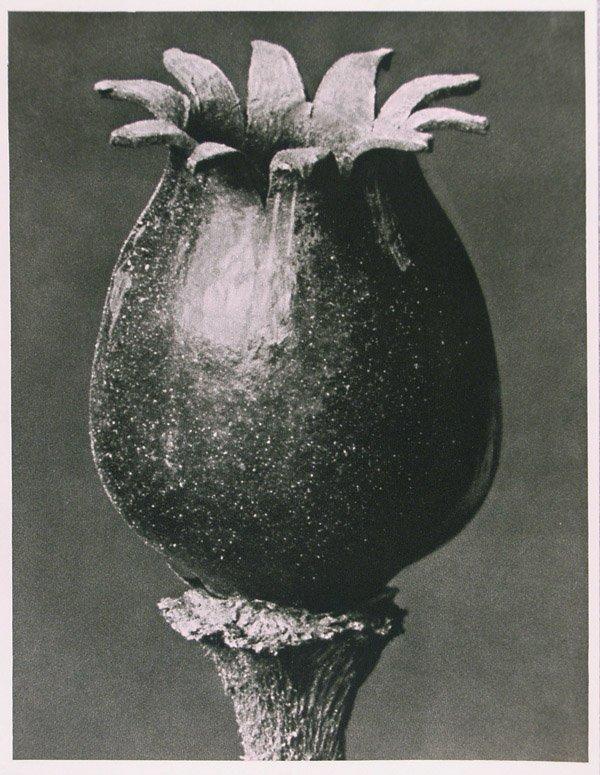 1201: KARL BLOSSFELDT (German) Vintage photogravure