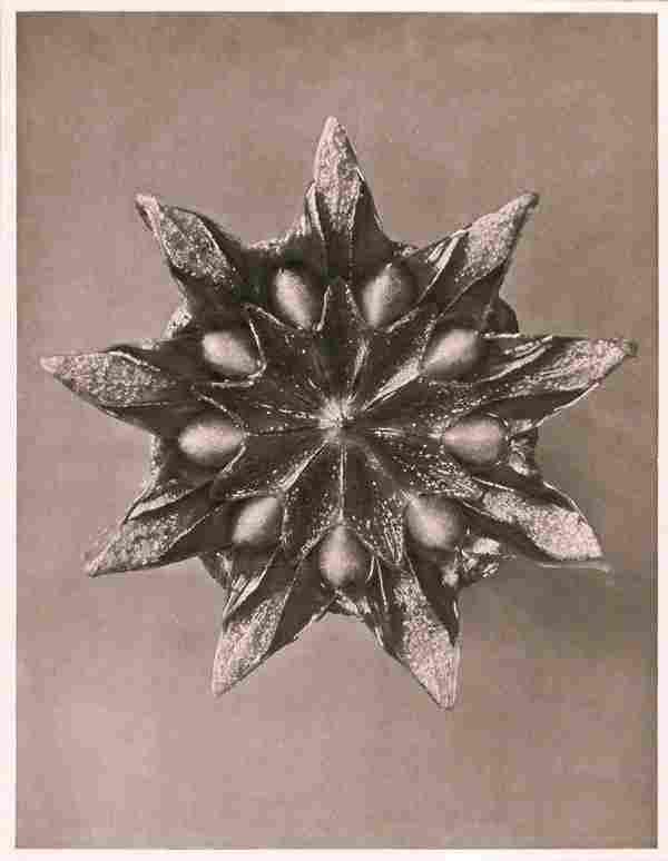1202: KARL BLOSSFELDT (German) Vintage photogravure