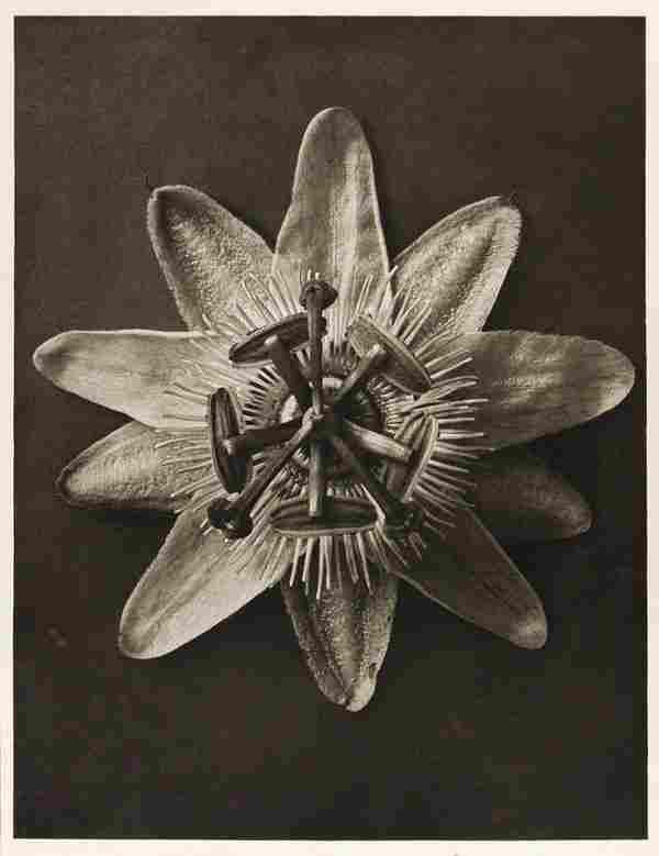 1205: KARL BLOSSFELDT (German) Vintage photogravure