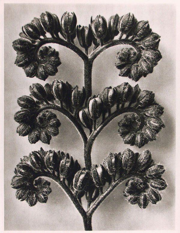 1206: KARL BLOSSFELDT (German) Vintage photogravure