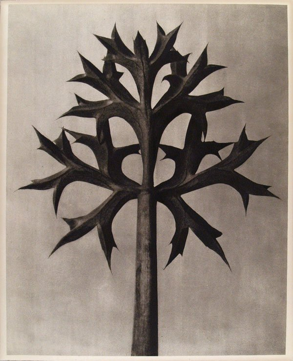 1155: KARL BLOSSFELDT (German) Vintage photogravure
