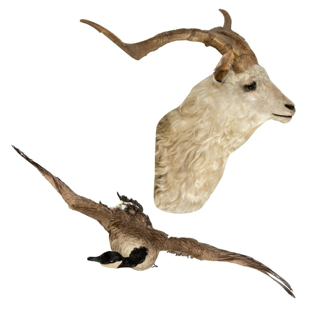 Canadian Goose Taxidermy with Rams Head