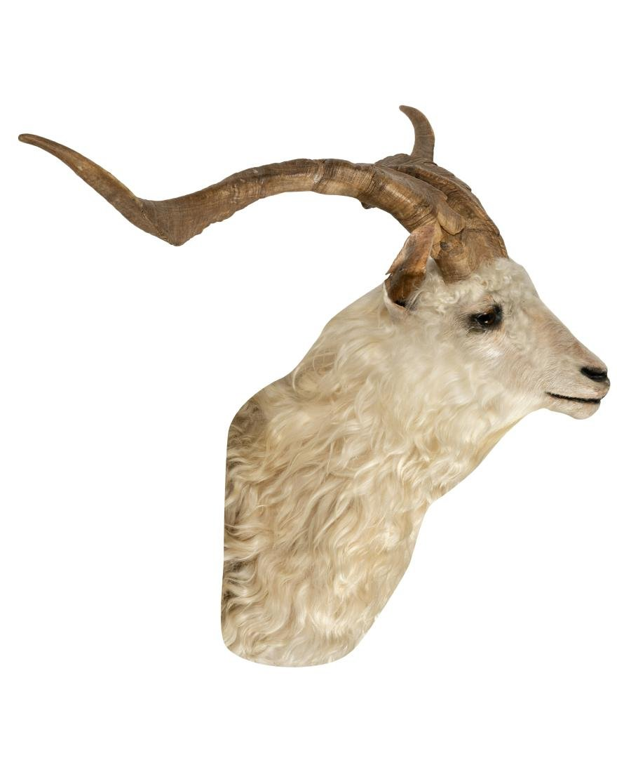 Canadian Goose Taxidermy with Rams Head - 3