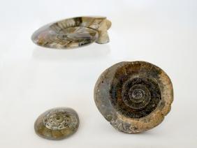 Ammonite Fossils, Three