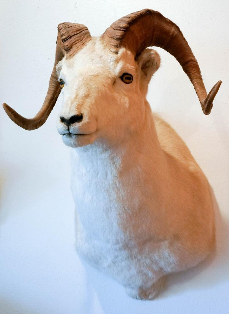 Dall Sheep Shoulder Mount - 3