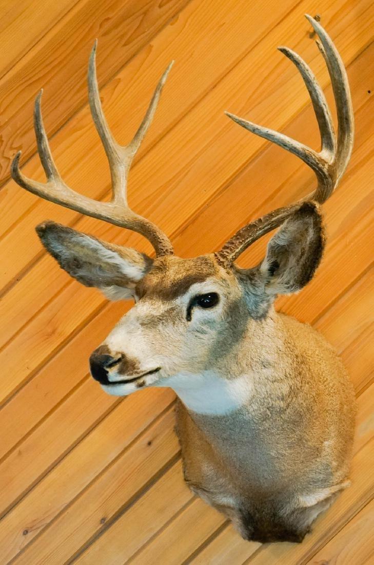 Mule Deer Shoulder Mount