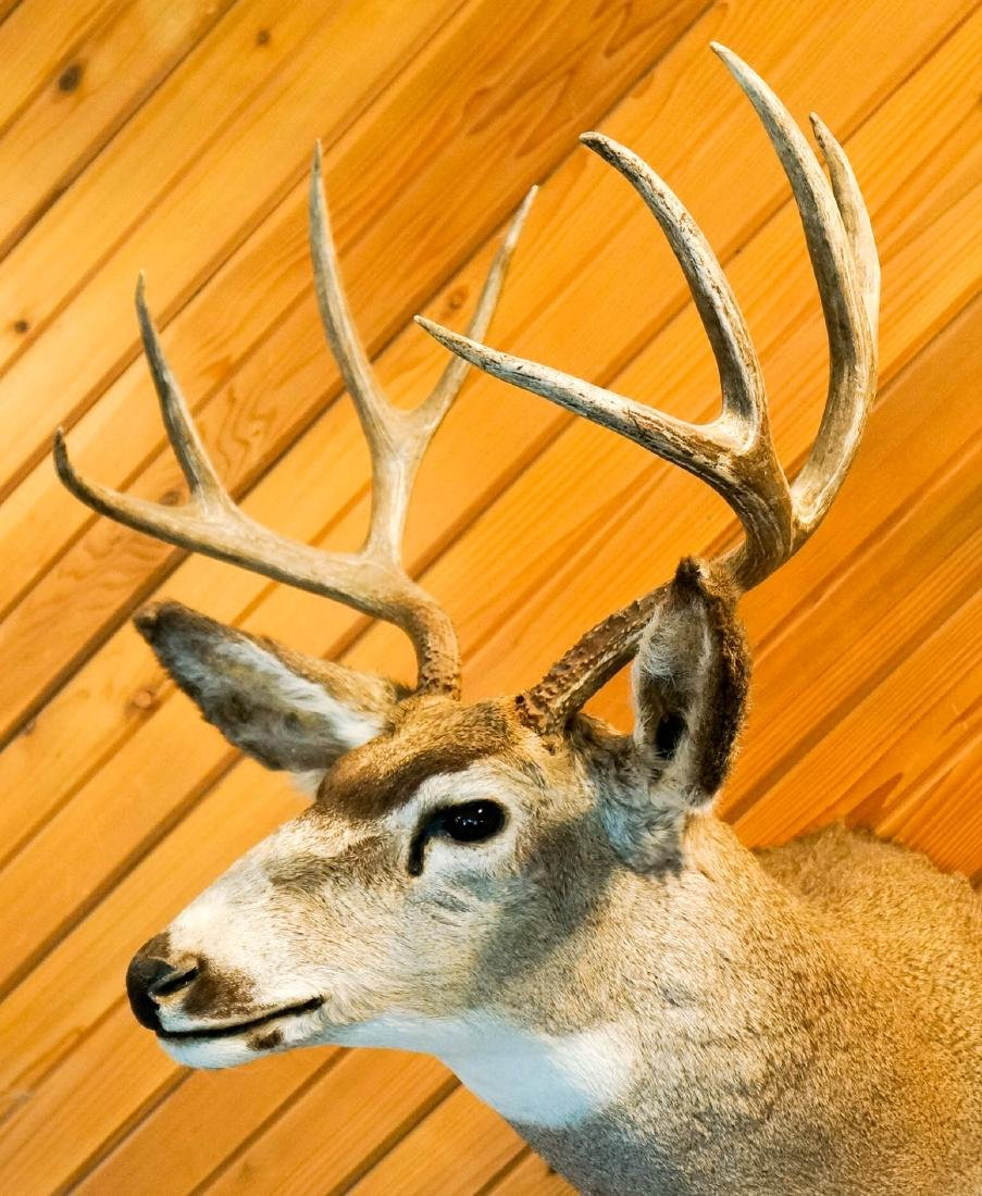 Mule Deer Shoulder Mount - 2