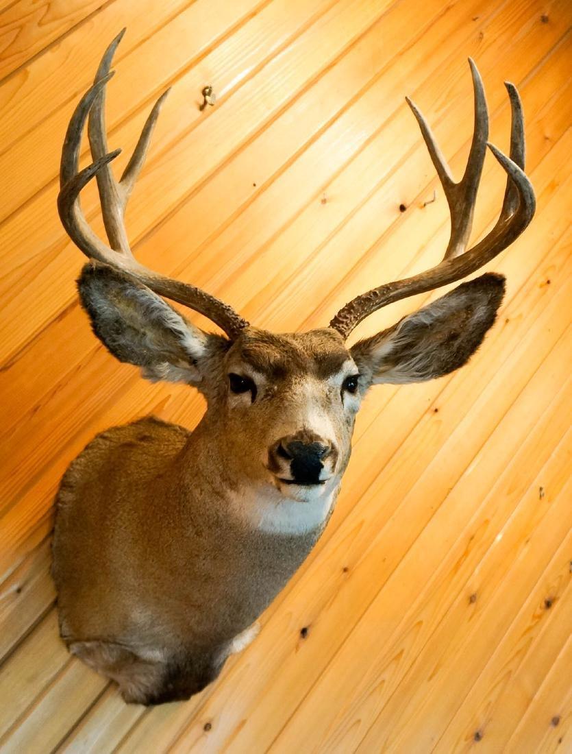Mule Deer Shoulder Mount - 3