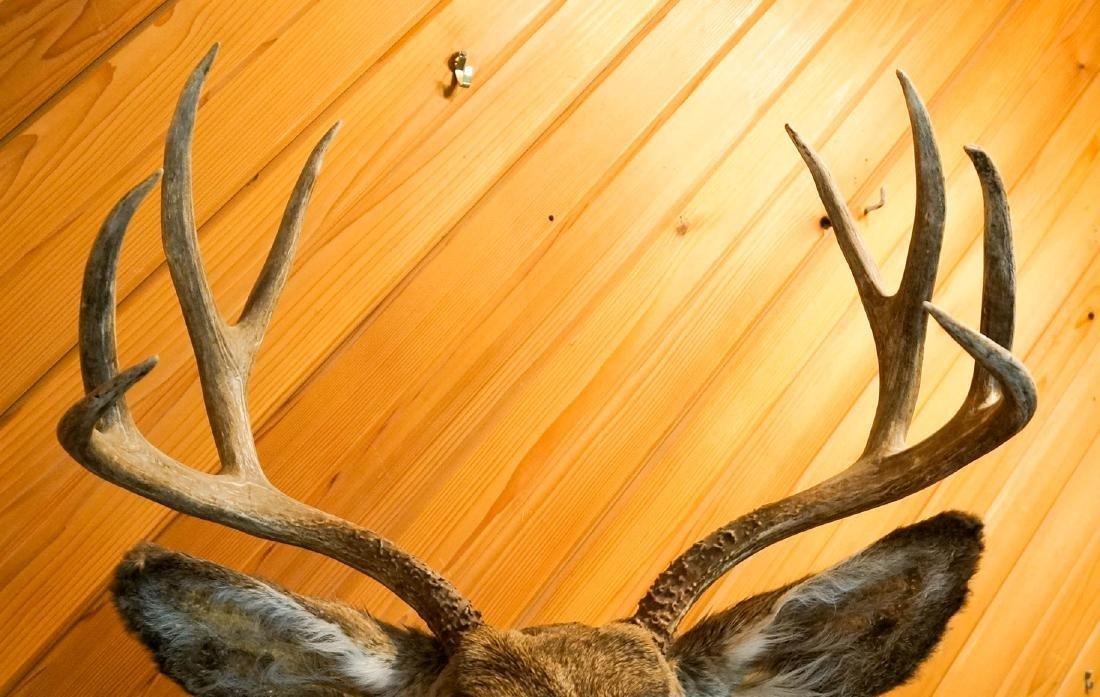Mule Deer Shoulder Mount - 4