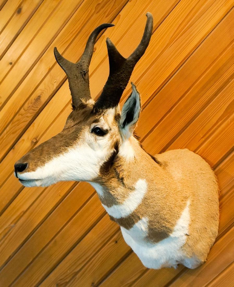 Antelope Shoulder Mount - 3