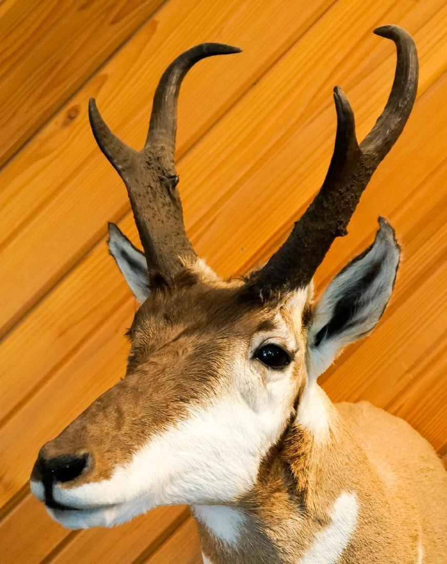 Antelope Shoulder Mount - 4
