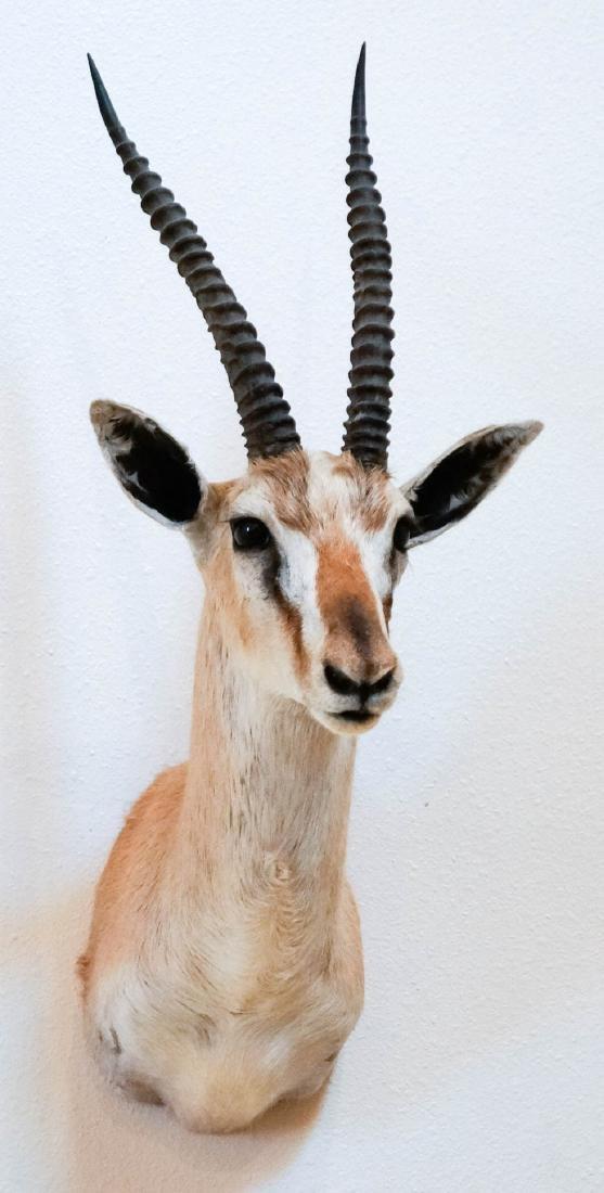 Spekes Gazelle Shoulder Mount