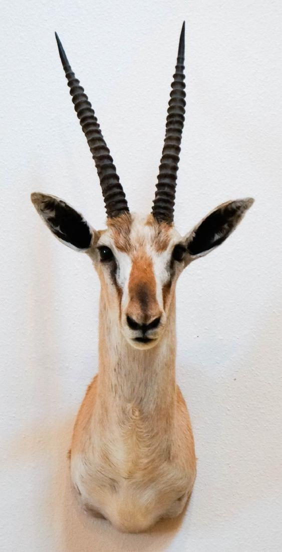 Spekes Gazelle Shoulder Mount - 2