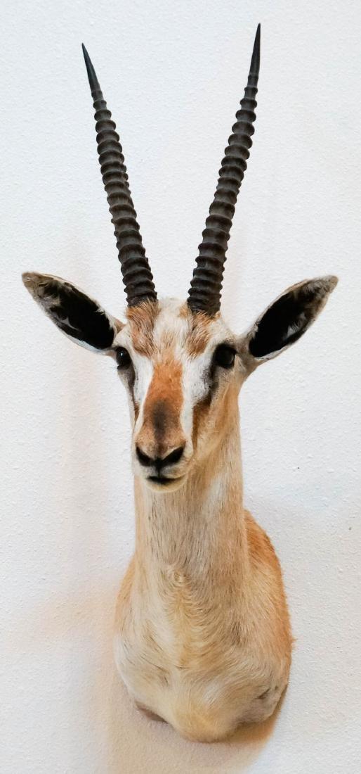 Spekes Gazelle Shoulder Mount - 3