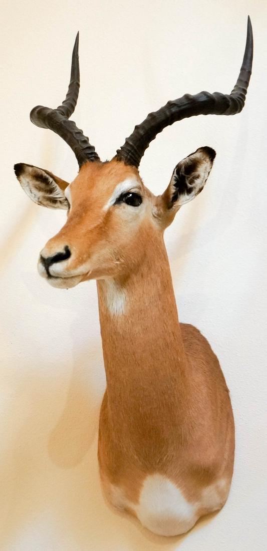 Impala Shoulder Mount