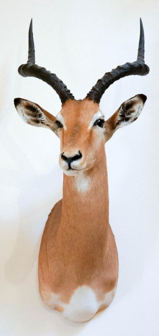 Impala Shoulder Mount - 2