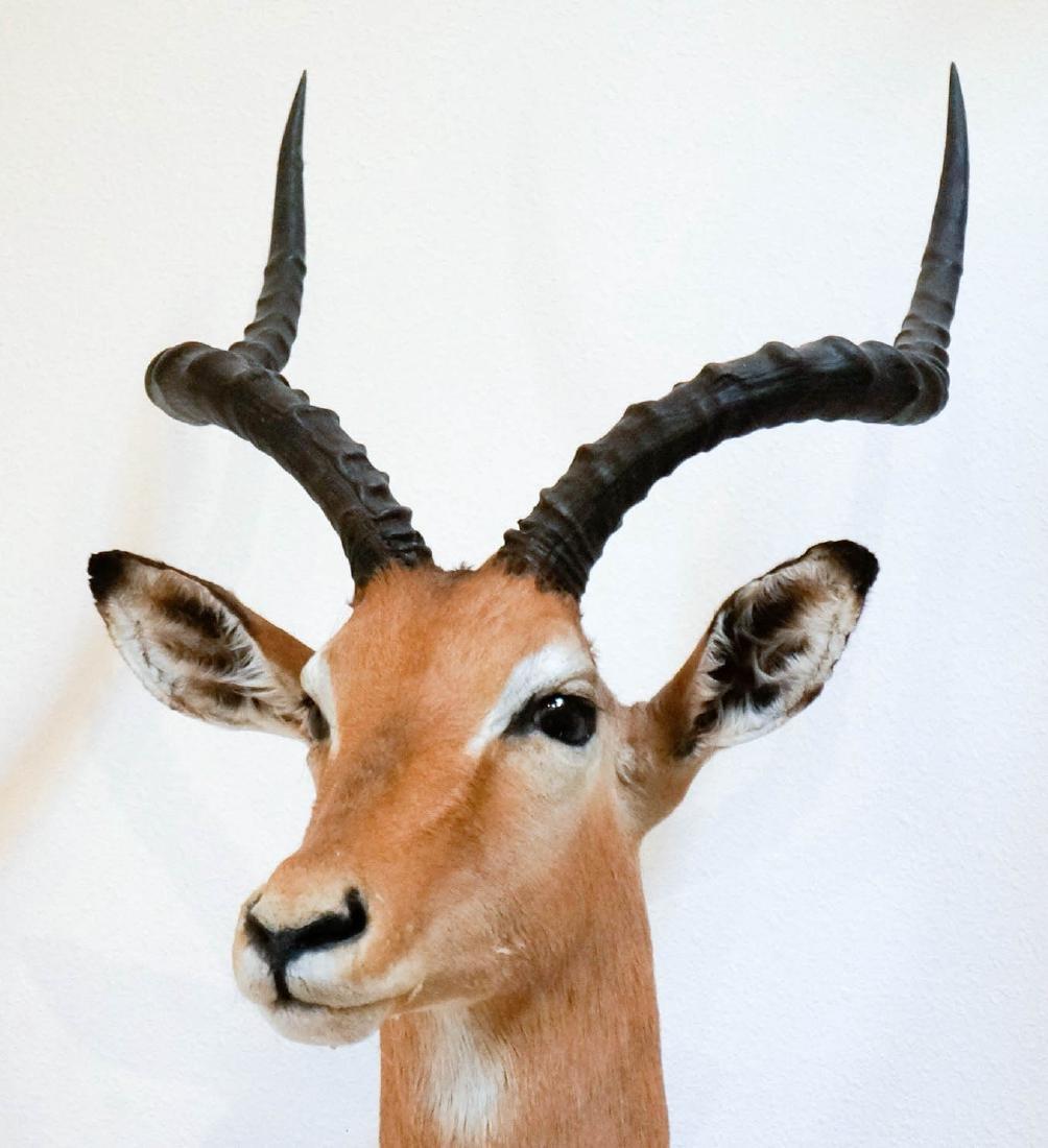 Impala Shoulder Mount - 3