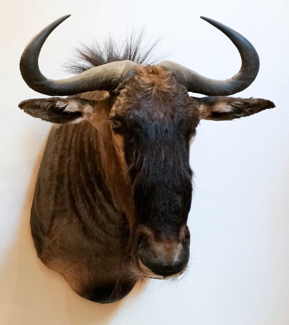 Blue Wildebeest Shoulder Mount - 2