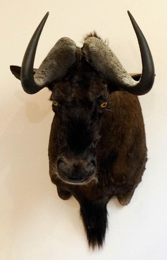 Black Wildebeest Shoulder Mount