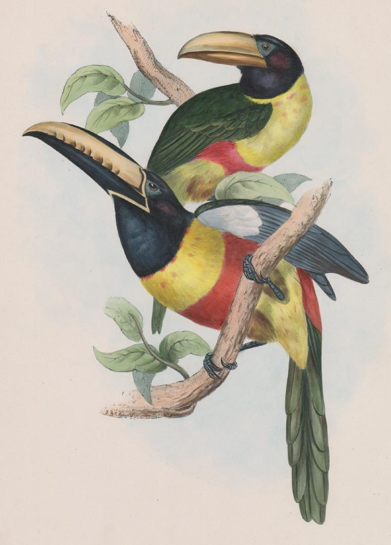 An Antique Gould Bird Print
