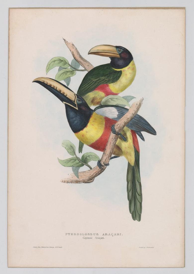 An Antique Gould Bird Print - 2