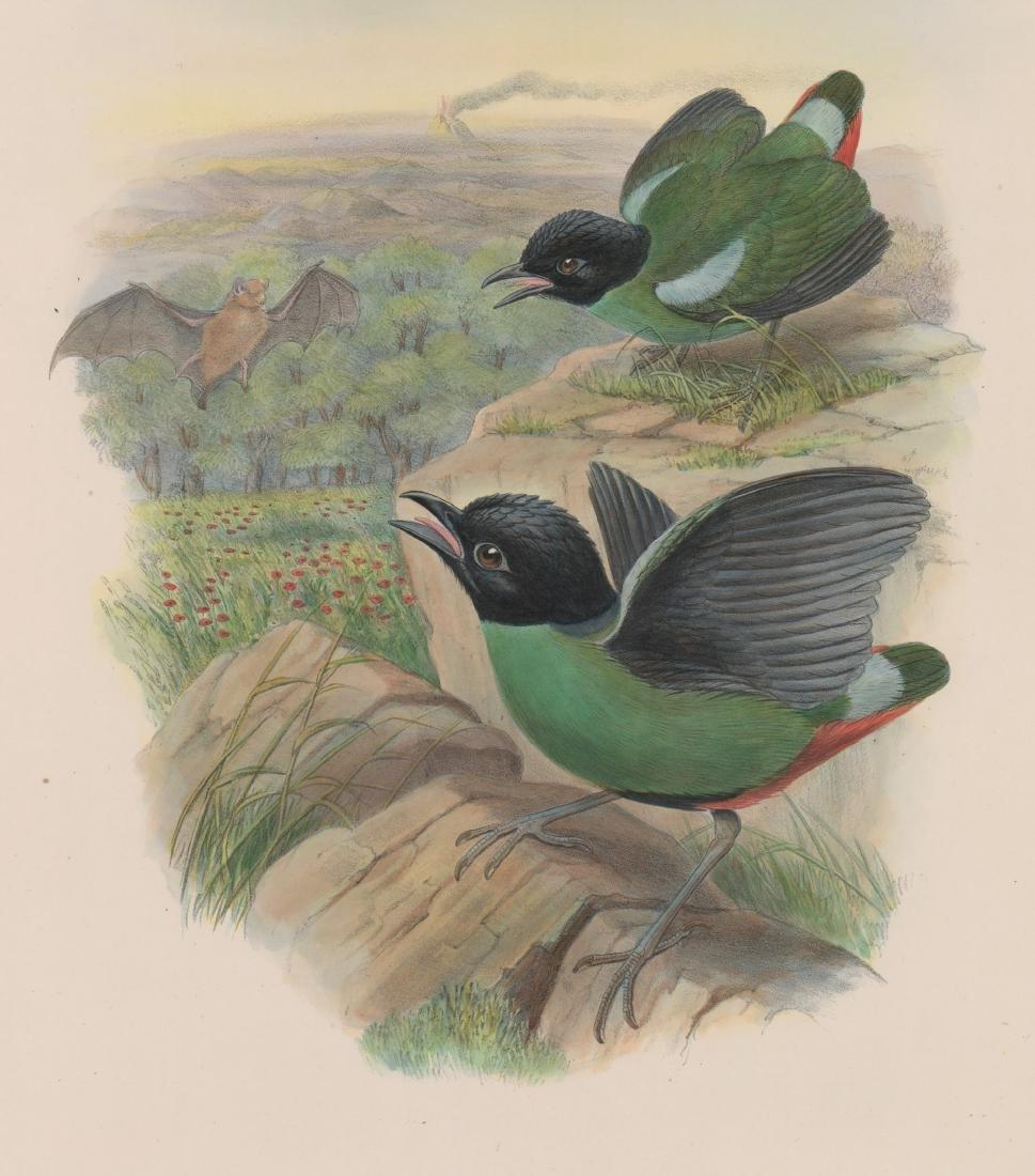 An Antique Bird Print by Gould & Hart