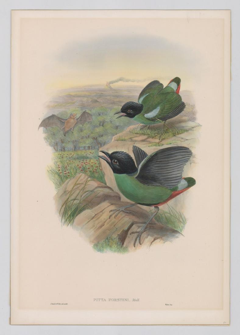 An Antique Bird Print by Gould & Hart - 2