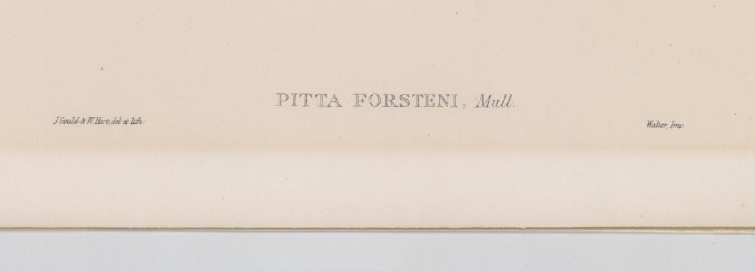 An Antique Bird Print by Gould & Hart - 3