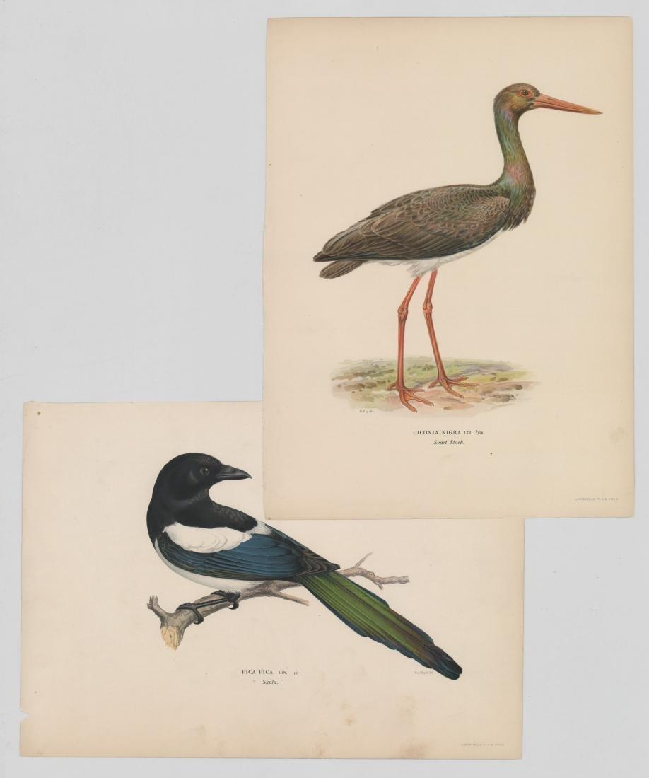 Magnus Von Wright, Ciconia Nigra Prints