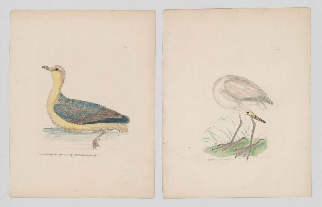 William Lewin (1747-1795) Colored prints - 3