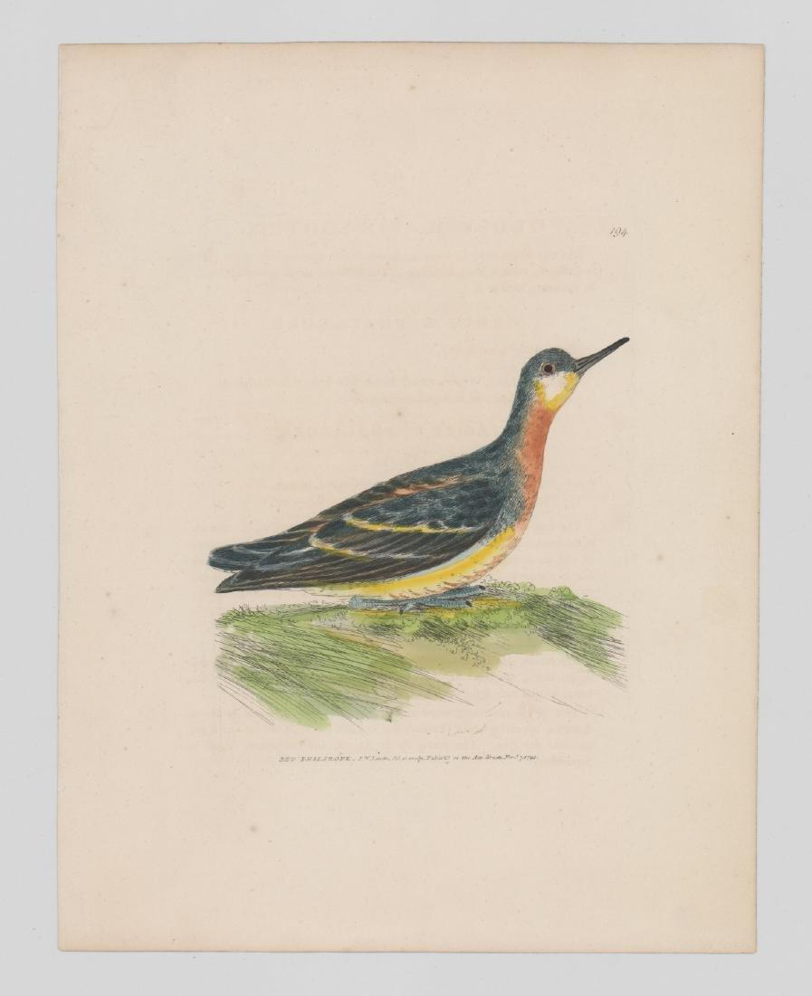William Lewin (1747-1795) Colored prints - 4