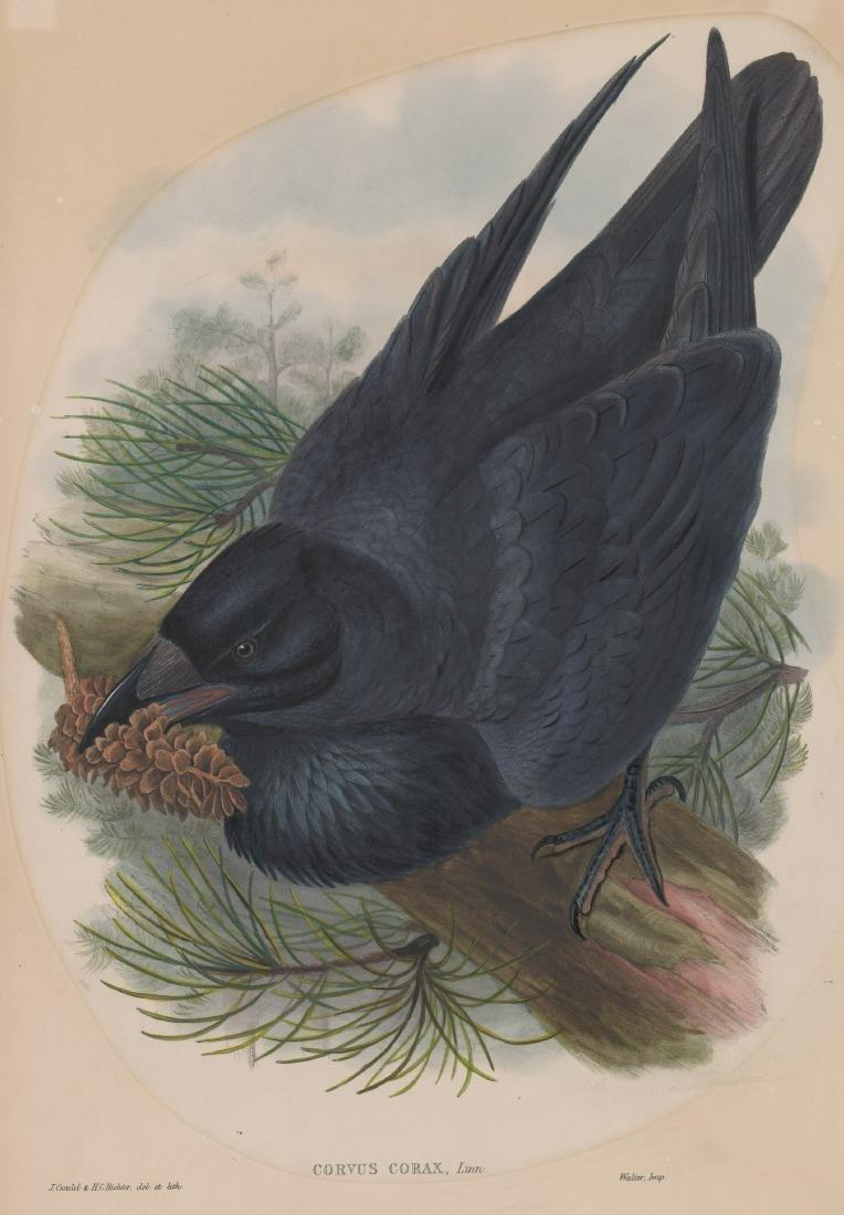 An Antique Bird Print by Gould & Richter