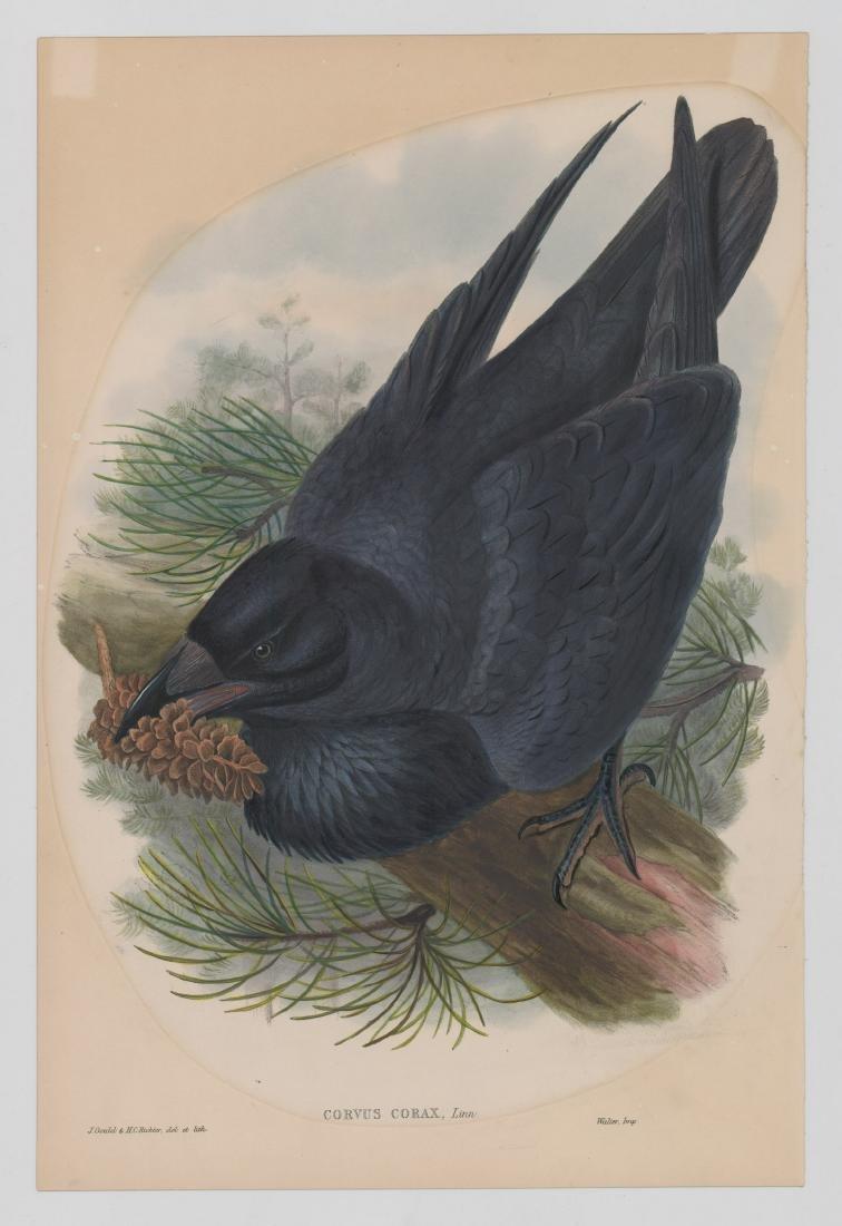 An Antique Bird Print by Gould & Richter - 2