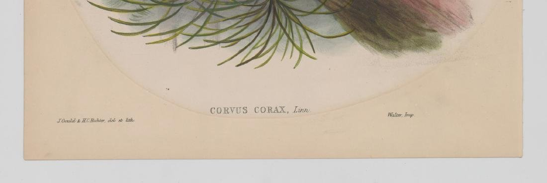 An Antique Bird Print by Gould & Richter - 3
