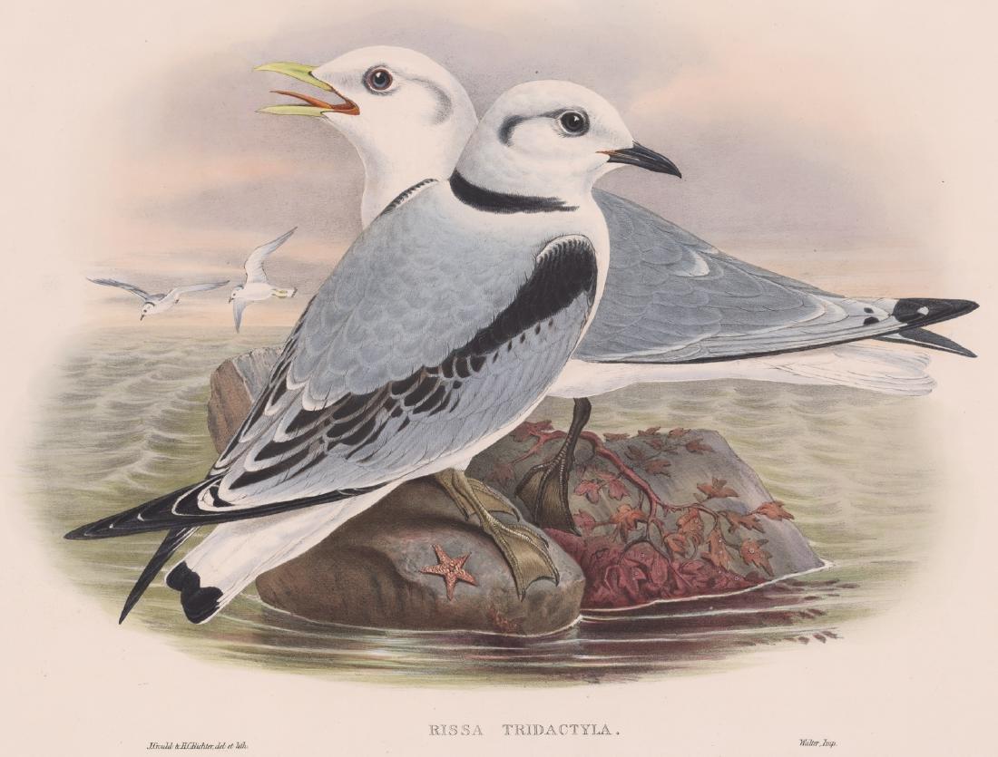 Kittiwake, Rissa Tridactyla, J. Gould 1873