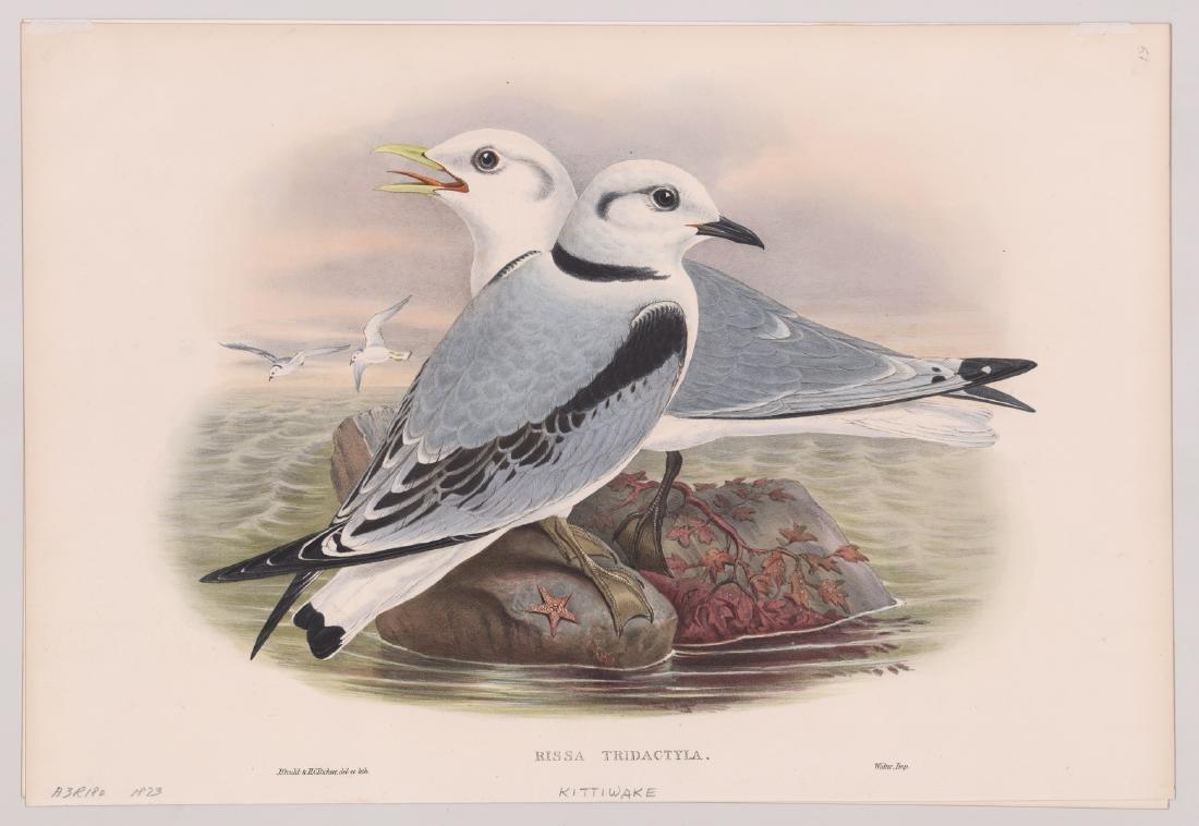 Kittiwake, Rissa Tridactyla, J. Gould 1873 - 2